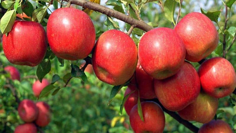 Okanagan apple growers protest